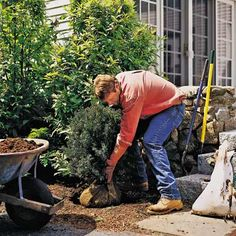 Fall Chores*Plant new shrubs*  planting shrubs in early fall gives the plants a head start at establishing roots in the season's cool, moist soil. The basics: Dig a hole (twice the diameter and to a depth of 2 inches less than the full height of the root ball); position the shrub in the hole (make sure the top of the root ball remains at, not below, ground level); fill in with soil; water to settle soil; add more soil to top of root ball (don't pack soil down with foot); mulch.