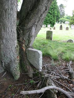 tree growing around 1800 s victorian head stone