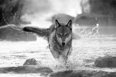 Minnesota Timber Wolf by Mike Possis on Capture Minnesota // A timber wolf splashes through a northern Minnesota river on a cool autumn morning.