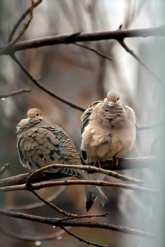 morning doves...nice memories as a kid...they woke me every morning. loved when they returned in the spring