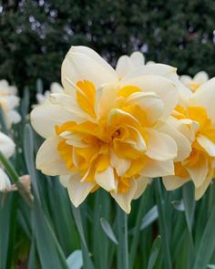 Excellent Pics Narcissus flower Tips Long-lived daffodils are one of the least complicated growing and also most popular springtime its h Narcissus Bulbs, Daffodil Bulbs, Narcissus Flower, Bulb Flowers, Indoor Flowering Plants, Spring Flowering Bulbs, Spring Bulbs, Daffodils Planting, Onion Flower