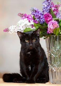 A fekete macskákat a legtöbben egy boszorkány seprűjén ücsörögve képzelik el. A fekete bunda szerelmesei állítják: ez a legelőkelőbb, legpompásabb macskaszín. A hiedelem szerint a fekete macskák természete is ennek felel meg: öntörvényű, kíváncsi természetű cicák ezek, akik bárkit képesek a bűvkörükbe ejteni, ők maguk azonban mindig megőriznek egy csipet titokzatosságot, és nem adják ki teljesen magukat.