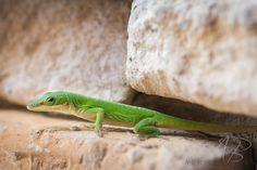 Green Anole lizard. ©April Brooks Photography, LLC https://www.flickr.com/photos/61393342@N07/