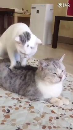 One of the best cat massage. Animals And Pets, Baby Animals, Funny Animals, Cute Animals, I Love Cats, Crazy Cats, Cool Cats, Weird Cats, Cute Kittens