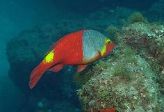 Vieja colorada (Sparisoma cretense) - Parrot fish in the Canary Islands.