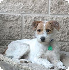 Wirehaired Fox Terrier/Border Collie Mix Puppy for