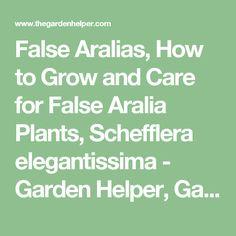 False Aralias, How to Grow and Care for False Aralia Plants, Schefflera elegantissima - Garden Helper, Gardening Questions and Answers