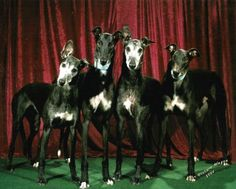 Black Greyhounds..remind me of my DumasCoolBoy...the greatest hound ever!