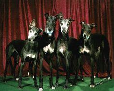 It's adopt a greyhound month!