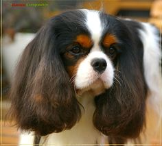 The many things I like about the Fun Cavalier King Charles Spaniel Puppies Spaniel Breeds, Spaniel Dog, Dog Breeds, Cavalier King Charles Dog, King Charles Spaniel, Spaniels For Sale, Dog Competitions, Puppy Mix, Dog Grooming