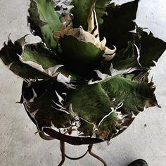 """Agave  titanota """" FO-76 """"  #agave  #titanota  #titanotacollections  #succulents  #アガベ  #チタノタ  #チタノタコレクション  #芽の巣山  #アガベの山  #たけろうポット  #2月25日  #2月26日  #高円寺  @menosyama  #notforsale"""
