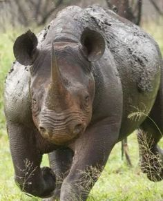 South Africa backs down from proposing legal trade in rhino horn - Africa Geographic Private Games, Game Reserve, Rhinoceros, Hippopotamus, African Safari, Wildlife Photography, Animal Kingdom, Animals Beautiful, Horns