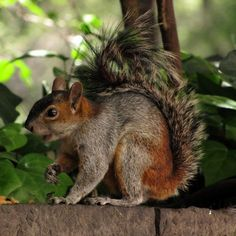 Tree squirrels, endemic to Guatemala