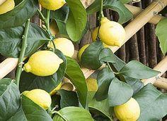 Le citronnier est un arbre fruitier gourmand qui a un fort besoin d'engrais tout au long de son développement.