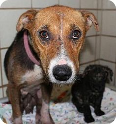 Hound (Unknown Type) Mix Dog for adoption in New York, New York - Hillary is available at Rescue Dogs Rock. Was rescued with her one surviving puppy April.
