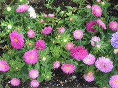 """""""Astern"""" Asters em frente da nossa casa. Plants, Flowers, Houses, Flora, Plant, Planting"""