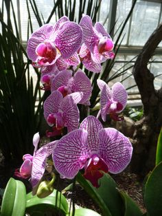 """Orchid - The name comes from the Ancient Greek (órkhis), literally meaning """"testicle"""", because of the shape of the root. The Greek myth of Orchis explains the origin of the plants. Orchis, the son of a nymph and a satyr, came upon a festival of Dionysus (Bacchus) in the forest. He drank too much, and attempted to rape a priestess of Dionysus. For his insult, he was torn apart by the Bacchanalians. His father prayed for him to be restored, but the gods instead changed him into a flower."""