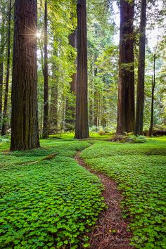 Forest Path, The Redwoods, California-clovers! Beautiful Places To Visit, Beautiful World, Places To See, Beautiful Forest, Magical Forest, Beautiful Mess, Simply Beautiful, Amazing Places, State Parks