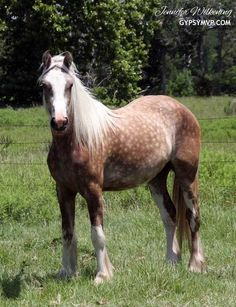 Gypsy Vanner Horses for Sale | Filly | Harlow