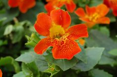 Torelus 'Orange Red Orchid' - Brand new cross of Torenia and Mimulus! Cool flowers for shade gardens, and blooms all summer.