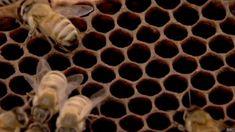 CURIOSIDADES DE LAS ABEJAS - CURIOSITIES OF THE BEES