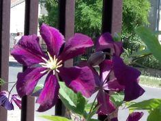 Így szaporítsd a klematiszt – olvasói tanácsok | Balkonada Ikebana, Purple, Decor, Beautiful Roses, Terrace, Trees, Gardening, Gardens, Plants
