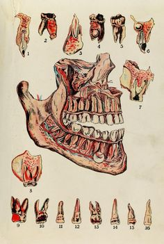 The teeth. Health knowledge. a thorough and concise knowledge of the prevention, causes, and treatments of disease, simplified for home use. 1920.