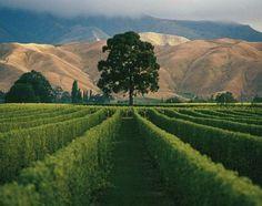 Marlborough, New Zealand.  Vineyard country.