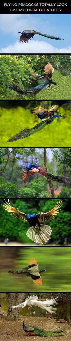 Flying Peacocks