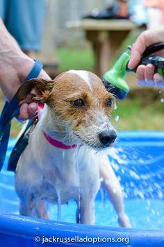 Diamond, Adoptable Jack Russell, Jack Russell Rescue | Georgia Jack Russell Rescue, Adoption and Sanctuary