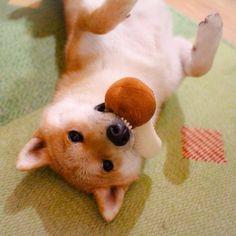 Ahhhhhh Shiba inu are the cutest!