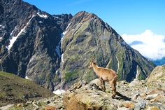 capre-pe-traseul-mont-blanc Kangaroo, Classic, Animals, Mountain, Mont Blanc, Baby Bjorn, Derby, Animales, Animaux