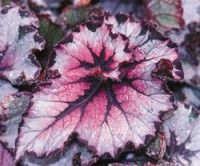 New York Swirl Begonia