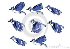 Blue Jay Bird Flying Sequence by Homoerectuss, via Dreamstime