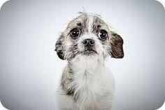 Arabella by Richard Phibbs.  A Chihuahua/Shih Tzu Mix Puppy for adoption at the Humane Society of New York.