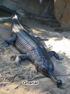 The Gharial (Gavialis gangeticus) –  is a crocodilian of the family Gavialidae that is native to the Indian subcontinent and also called gavial and fish-eating crocodile. - http://envis.maharashtra.gov.in/envis_data/files/Crocodile/CrocIndScen.html