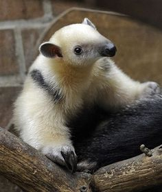 A two-month-old anteater climbs on its mother's back at the zoo in Dortmund, western Germany, Monday, Jan. Armadillo, Mundo Animal, My Animal, Reptiles, Mammals, Cute Funny Animals, Cute Baby Animals, Nature Animals, Animals And Pets