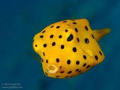 Juvenile black-spotted boxfish (Ostracion cubicus) by Josef Litt. via @CGShark
