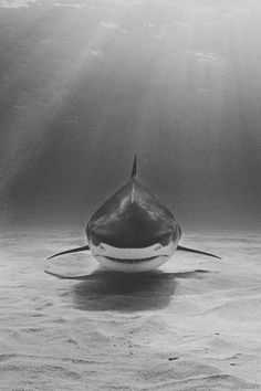 Shark in black and white.
