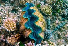 Inspiration for my Giant Clam for the Maine Reef Project