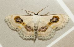 Eye Looper Moth (Problepsis vulgaris, Geometridae) | Flickr - Photo Sharing!