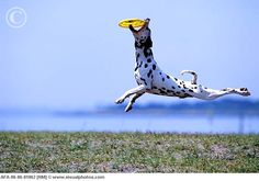 Athletic Dalmatian catching a frisbee in mid-air