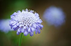 Butterfly-blue-pincushion-flower-randy-forrester Top 10 Flowers That Bloom all Year Garden Yard Ideas, Lawn And Garden, Landscaping Plants, Front Yard Landscaping, Types Of Flowers, Purple Flowers, Flowers Perennials, Planting Flowers, Flowers Garden