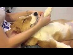 """Massage Corgi had all of us saying """"now doesn't that feel good?"""" great short video of a very relaxed Corgi getting a massage. Cute Corgi, Corgi Dog, Cute Puppies, Dogs And Puppies, Funny Dog Videos, Funny Dog Pictures, Funny Dogs, Massage Relaxant, Puppy Party"""