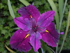 Iris x 'Grace Duhon' (Iridaceae) Louisiana Iris
