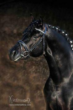 black horse - Trakehner