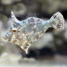 Aiptasia Eating Filefish, Captive-Bred ORA ®