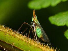 Planthopper, Dictyopharidae