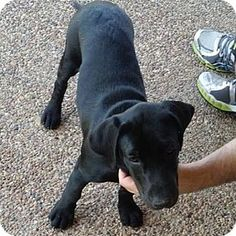 Denton, TX - Labrador Retriever. Meet Oz, a puppy for adoption. http://www.adoptapet.com/pet/11305598-denton-texas-labrador-retriever