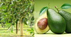 Incrível! Tem varizes ou sofre de diabetes? Saiba que as folhas de abacateiro são solução! - # #abacate #Abacateiro #chá #diabetes #varizes
